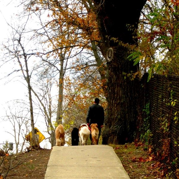 Person Walking with Dogs in the Fall